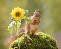 Squirrel standing with sunflower Stock Photo
