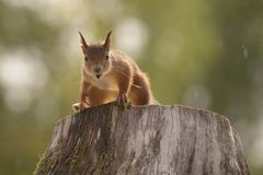 Squirrel standing on a tree trunk Royalty Free Stock Images