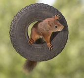 Squirrel standing in a tyre Stock Image
