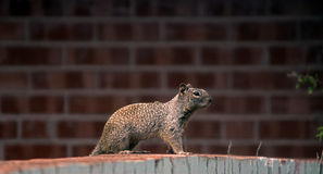 Squirrel standing on a wall. During the day Stock Photo