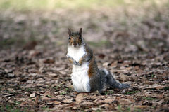 A squirrel standing in the way Stock Photo