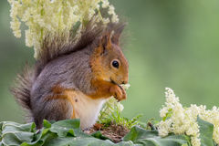 Squirrel standing white Stock Image