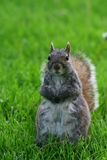 Squirrel standing on yard Stock Image
