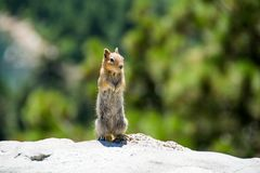 Squirrel Standing at Yosemite Royalty Free Stock Photos