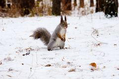 Squirrel stands on hind legs on white snow in the winter forest, Russian wild nature. Squirrel stands on hind legs on white snow in the winter forest Royalty Free Stock Photo