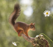 Squirrel stands on a mushroom Royalty Free Stock Photography