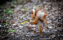 Squirrel with miniature shopping cart full of nuts