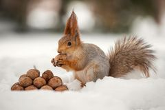 The squirrel stands with nut in paws on the snow in front of a pile of nuts.  stock image