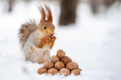 The squirrel stands with nut in paws on the snow in front of a pile of nuts.  stock photos