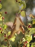 Squirrel stands in split with raspberries Royalty Free Stock Photo