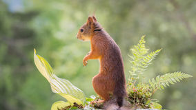 Squirrel stands Royalty Free Stock Images