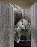 Squirrel Staring Forward on Wood Fence Stock Images