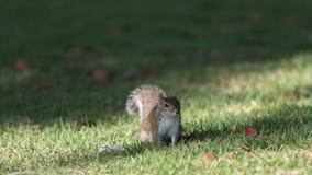 Squirrel Staring, Winter Park, Orlando, Florida. Squirrel (Sciurus carolinensis) Staring, Winter Park, Orlando, Florida Royalty Free Stock Photos