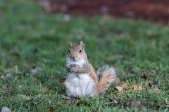 Squirrel Staring, Winter Park, Orlando, Florida. Squirrel (Sciurus carolinensis) Staring, Winter Park, Orlando, Florida Stock Photo