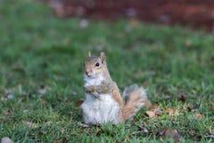 Squirrel Staring, Winter Park, Orlando, Florida Royalty Free Stock Image