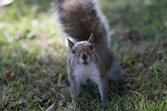 Squirrel Staring, Winter Park, Orlando, Florida Royalty Free Stock Photos