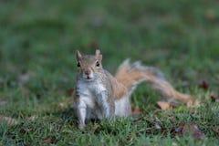 Squirrel Staring, Winter Park, Orlando, Florida Royalty Free Stock Images