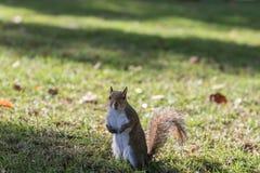 Squirrel Staring, Winter Park, Orlando, Florida Stock Image