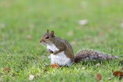 Squirrel Staring, Winter Park, Orlando, Florida Stock Photography
