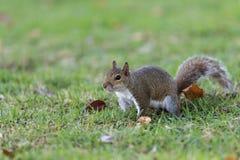 Squirrel Staring, Winter Park, Orlando, Florida Stock Photos