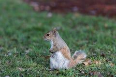 Squirrel Staring, Winter Park, Orlando, Florida Royalty Free Stock Photography