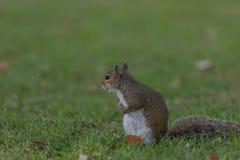 Squirrel Staring, Winter Park, Orlando, Florida. Squirrel (Sciurus carolinensis) Staring, Winter Park, Orlando, Florida Stock Image