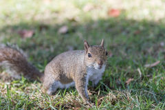 Squirrel Staring, Winter Park, Orlando, Florida. Squirrel (Sciurus carolinensis) Staring, Winter Park, Orlando, Florida Stock Images