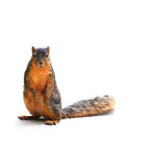 Squirrel staring at you, on white with shadow Stock Photos