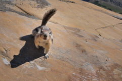 Squirrel starring at Camera, Glacier National Park, Montana, USA Stock Photography
