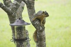 Sneaky Squirrel Royalty Free Stock Photos