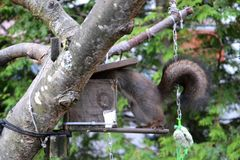 Squirrel stealing food from bird feeder Stock Photos