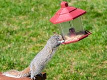 Squirrel steals seeds from bird feeder. Cute but pesky grey squirrel steals seeds from a hanging bird feeder royalty free stock photos