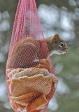 Squirrel Sticking head outside Onion Bag Feeder Royalty Free Stock Image