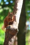 Squirrel - Stock Photos Stock Photography