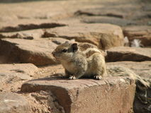Squirrel on Stone stock photography