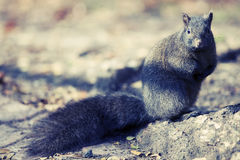 Squirrel. Stopped in it's tracks in High Park Toronto Stock Photography