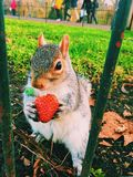 The Squirrel and the strawberry Stock Photos