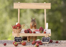 Squirrel and a strawberry Market Stall Royalty Free Stock Image