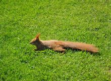 Squirrel stretched out on the lawn. Auburn rodent crawls over lush , green grass royalty free stock photography