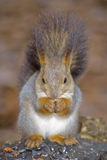 Squirrel on a stub Royalty Free Stock Photo