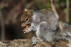 Squirrel stuffing itself with nuts during winter stock photos