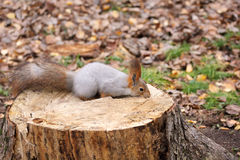 Squirrel on a stump Royalty Free Stock Photography