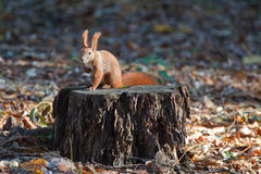 Squirrel on a  stump Royalty Free Stock Photo