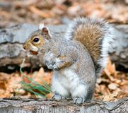 Squirrel on a stump with a hazel-nut. A squirrel on a stump looks where to hide a nut Stock Image