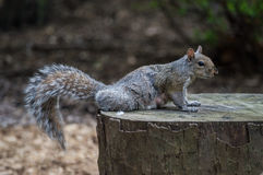 Squirrel On Stump Royalty Free Stock Photos