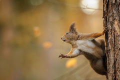 Squirrel stunned reaching left while holding the trunk Stock Photography