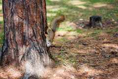 Squirrel in a summer park. Fast Squirrel in a summer park royalty free stock image