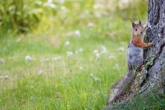 Squirrel at summer Royalty Free Stock Image