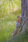 Squirrel at summer Stock Photo