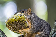 Squirrel,sunflower Stock Photos